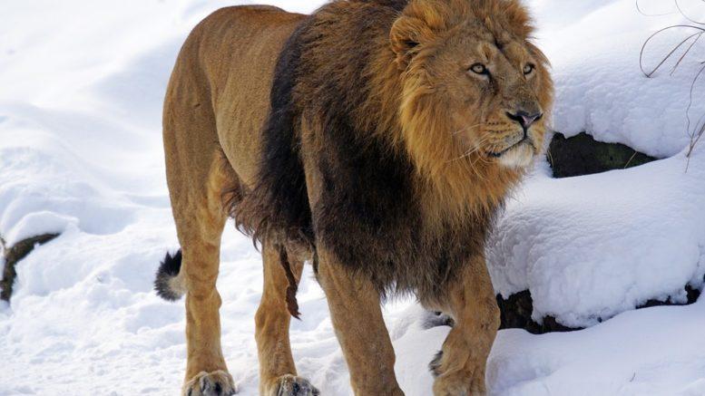 Ostravský lev odcestoval do pražské zoo